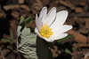 Bloodroot opening up (Jan Nagalski (back, catching up)) Tags: whiteflower nature bloodroot sanguinariacanadensis spring nativespecies michigan southeastmichigan sterlingheights clintonriverpark dodgepark jannagalski jannagal wildflower forest woods