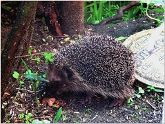 Unusual... (MaxUndFriedel) Tags: hedgehog hungry daylight garden sunshine dog food unusual guest small friend