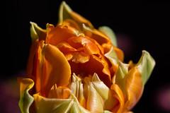 Tulip (Klas-Goran Photo) Tags: tulip macro flower