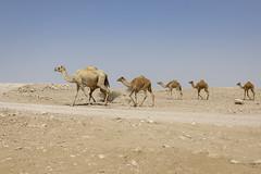 070A8718 (Cog2012) Tags: qatar