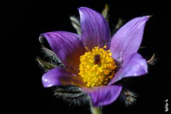 Pulsatilla ... (N.Batkhurel) Tags: season spring flower flora pulsatilla mongolia macro closeup ngc nikon nikond5200 helios442