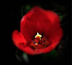 Tulip (3) (ronramstew) Tags: flower bloom garden birchmoor stmichaels liverpool merseyside uk spring tulip red