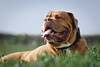 SHA_1744 (andreyshkvarchuk) Tags: pet animal dog doguedebordeaux 7d2 mastiff spring summer forest trees grass