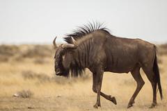IMG_1859 (tregnier) Tags: namibia roadtrip africa travel desert animals sossusvlei leopard cheetah lion solitaire trip