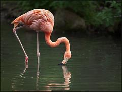 Flamingo (guenterleitenbauer) Tags: 2017 animal animals günter leitenbauer schmiding schmieding tier tiere tierpark zoo animales wildpark flamingo