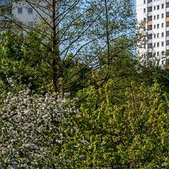 Apfel-Blüten (p.schmal) Tags: olympuspenf hamburg farmsenberne rhododendronblüten apfelblüten