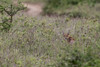 Fantasy creature? (Ring a Ding Ding) Tags: africa ascilia caracal fantasy namiriplains serengeti tanzania cat mythology nature safari wildcat wildlife shinyangaregion coth flickrbigcats coth5