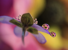 Together (Macro-photography) Tags: macro canon tamron90mm colors water drops nature closeup focus petals floralart reflection bokeh droplet light pastel pink yellow purple daisy flower garden macrodreams flora flores softflowers spring macrophotography onlyflowers