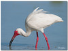 American White Ibis (Betty Vlasiu) Tags: american white ibis eudocimus albus bird nature wildlife florida