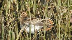 Snipe (Dave G8HPV) Tags: brandon marsh warwickshire