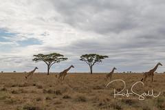 Masai Giraffe on the Plains (robsall) Tags: 2016 24105 24105f4isusm 5dm3 5dmark3 5dmarkiii 5dmiii africa africatourism africawildlifephotography africanwildlife canon canon24105f4isusm canon24105mm canon5d canon5dmarkiii canon5dm3 canoneos canoneos5dm3 family giraffacamelopardalistippelskirchi giraffe giraffes kilimanjarogiraffe mammal masaigiraffe masaigiraffes robsallaeiral robsalldrone robsalldronephotography robsallphotography robsallwildlifephotography tanzania tanzania2016 vacation mararegion