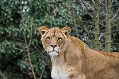 Kianga (Nick Dijkstra) Tags: artis leeuwin lioness