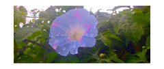 A Lovely Blue Flower ... (Guilherme Alex) Tags: autumn march beautiful wonderful amazing nature naturaleza natural panoramic green leaf leaves live life jungle farfromthecity countryside drops flower blue colors colorful pink reflection digitalcamera samsung magic cloud rain rainyday cloudyday morning petals forest exploring wild found frame picture
