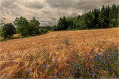 Heimat der Kornblumen (linke64) Tags: thüringen germany deutschland wald wolken sommer himmel bäume getreide feld kornblumen blumen