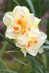 IMG_1020 (sherri_lynn) Tags: daffodils gardens spring gibbsgardens northgeorgia flowers nature