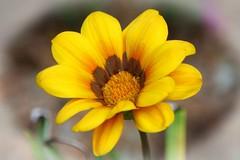 Gazania (Uhlenhorst) Tags: 2017 australia australien flowers blumen pflanzen plants travel reisen