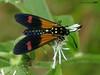Belemnia inaurata (LPJC (no more uploads for some time - unplanned tr) Tags: lakesoledad arcc peru 2017 lpjc moth belemniainaurata diurnal