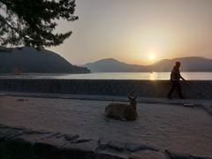 Miyajima - Deer, sunset and sea (tcchang0825) Tags: sunset miyajima deer sea coast hiroshima japan