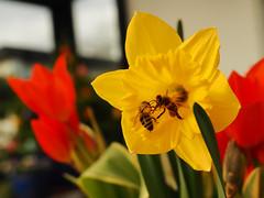 springtime in Northern Germany (Ostseeleuchte) Tags: spring springtime frühling hauchvonfrühling bienen ausgehungert nachholbedarf bee hungry sonnenschein sunshine terrace garden garten springflowers narzissen tulpen ostseeleuchte 2018 pflanzschale auf der terrasse