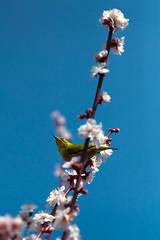 Oriental White-Eye (Fab Photographe) Tags: whiteeye bird osaka japan asia plum blossom zeiss ze aposonnart2135 nature naturephotography wildlife