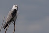 Black-shouldered Kite-4000 (rawshorty) Tags: rawshorty birds canberra australia act symonston