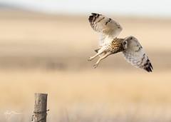 Short-eared Owl Takeoff 4 of 4 (m_Summers) Tags: buho spring greatsaltlake owl nature shortearedowl marksummers wildbird wild wildlife flight seo bif utah outdoors nonbaited asioflammeus birdinflight birdofprey bird