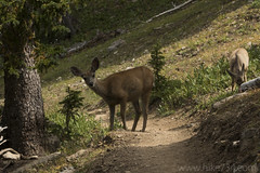 "Mule Deer • <a style=""font-size:0.8em;"" href=""http://www.flickr.com/photos/63501323@N07/26424671777/"" target=""_blank"">View on Flickr</a>"