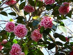A Mass of Camellia (Gilder Kate) Tags: isabellaplantation richmondpark royalparks spring panasoniclumixdmctz70 panasonic panasoniclumix dmctz70 tz70 camellia
