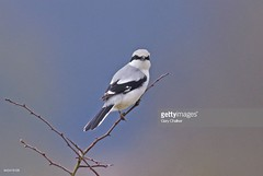 Great Grey Shrike (Gary Chalker, Thanks for over 3,000,000. views) Tags: greatgreyshrike shrike bird pentax pentaxk3ii k3ii pentaxfa600mmf4edif fa600mmf4edif fa600mm 600mm