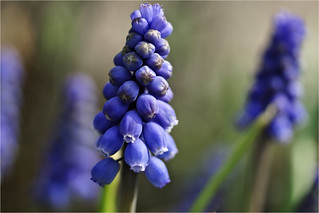common grape-hyacinth .........