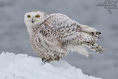 Oshkosh Snowy (Winglet Photography) Tags: wingletphotography georgewidener stockphoto earth wisconsin canon 7d georgerwidener nature wildlife flowage outdoor bird animal oshkosh lakewinnebago snowyowl city