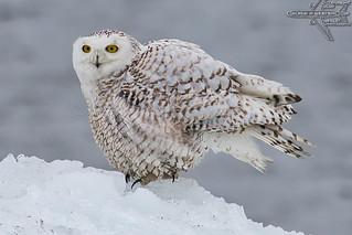 Oshkosh Snowy