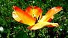 Tulipan. (andrzejskałuba) Tags: polska poland pieszyce dolnyśląsk silesia sudety europe panasoniclumixfz200 roślina plant kwiat flower tulip tulipan żółty yellow czerwony red zieleń green garden ogród natura nature trawa grass wiosna spring 100v10f