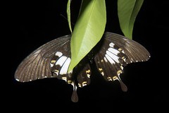 Papilio nephelus chaon (Yellow Helen) (GeeC) Tags: animalia arthropoda butterfliesmoths cambodia insecta kohkongprovince lepidoptera nature papilio papilionepheluschaon papilionidae papilionoidea tatai truebutterflies yellowhelen