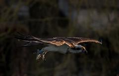 DSC7292  Osprey.. (jefflack Wildlife&Nature) Tags: osprey ospreys birds avian animal animals wildlife wildbirds waterbirds wetlands lakes lochs estuaries estuary countryside waterways nature