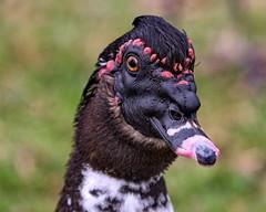 Black Faced Muscovy (Darts5) Tags: muscovy muscovyduck duck ducks bird birds birdseye 7d2 7dmarkll 7dmarkii 7d2canon ef100400mmlll closeup canon7d2 canon7dmarkii canon7dmarkll canon canonef100400mmlii upclose animal