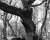 Twisted Oak (Hyons Wood) (Jonathan Carr) Tags: acros 4x5 5x4 largeformat tree shadow monochrome bw black white toyo45a ancient woodland rural northeast landscape abstract