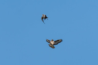 Common Buzzards (Mäusebussard) - A Meeting in the Air