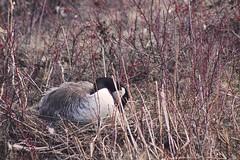 IMG_9368 copy (Britt2050) Tags: goose princesislandpark bird waterfowl