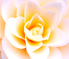Silk Tenderness (barbara_donders) Tags: spring lente natuur nature art kunst macro flower bloemen zijden zacht zachtheid prachtig mooi beautifull beauty magical wit white