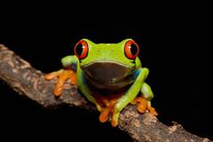 I'm Gonna Get Ya! (Jen St. Louis) Tags: agalychniscallidryas redeyedtreefrog amphibian captive frog treefrog nikond750 nikon105mmf28 jenstlouisphotography wwwjenstlouisphotographycom macro animals