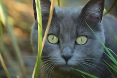 T'as de beaux yeux tu sais ... (GerardMarsol) Tags: chat animal regard yeux ngc nikoniste