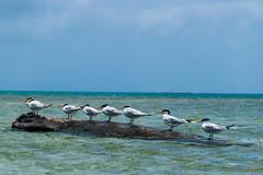 Charrán común (Sterna hirundo) - Archipiélago de San Blas (carlosbenju) Tags: ave aves bird birds water agua mar sea oceano ocean playa beach azul blue cielo sky panama sanblas bote boat barco ship