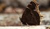 apr29 2018 9 (Delena Jane) Tags: delenajane butterfly mourningcloak newfoundland ngc canada closeup conceptionbaysouth pentaxart macro