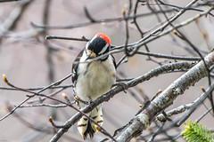 Downy Woodpecker, male , La Manche Provincial Park (frank.king2014) Tags: male downywoodpecker torscove newfoundlandandlabrador canada ca