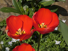 Tulips (Deanne Wildsmith) Tags: tulip flower plant earthnaturelife