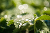 pearls of passion (madtacker) Tags: outdoor natur makro detail wassertropfen blatt pflanze vintage art bokeh ennamünchen ennalyt f19 50mm nikon d800 deutschland germany