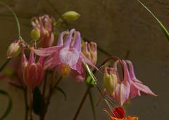 La mélancolie de l'ancolie - The melancholy of the columbine (p.franche Visit(ez) mes expositions) Tags: blume 花 blomst flor פרח virág bunga bláth blóm bloem kwiat цветок kvetina blomma květina ดอกไม้ hoa زهرة macro bokeh jardin garden nature pétale petal pistil étamine rose clochette stamen bell herbe herb fleur flower superbokek sony sonyalpha65 dxo photolab bruxelles brussel brussels belgium belgique belgïe europe pfranche pascalfranche schaerbeek schaarbeek