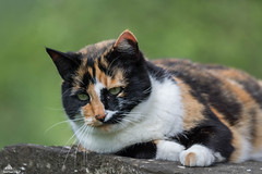 """""""A Boring Saturday For Shelly:...No Insects Yet..."""" (Xena*best friend*) Tags: shellyann shellyannfraserpryce shelly spring cats whiskers feline katzen gatto gato chats furry fur pussycat feral tiger pets kittens kitty animals piedmontitaly piemonte canoneos760d italy wood woods wildanimals wild paws calico markings ©allrightsreserved purr digitalrebelt6s canonef70300mm flickr outdoor animal pet"""