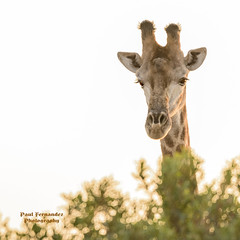 Southern Giraffe Portrait at Kruger National Park, South Africa (D200-PAUL -- Taking Week Off) Tags: southerngiraffe giraffesouthern twohornedgiraffe giraffetwohorned giraffagiraffa ngalasafarilodge ngala safarilodge beyond krugernationalpark kruger nationalpark southafrica paulfernandez